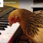 Năm Đinh Dậu cùng xem gà trổ tài chơi đàn piano