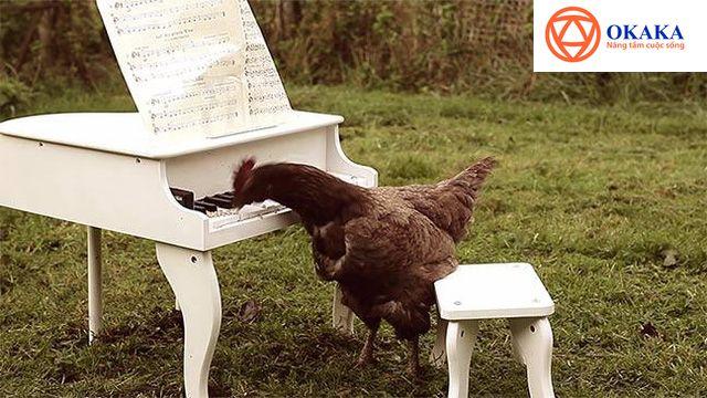 Năm gà nói chuyện gà còn gì hợp hơn phải không bạn? Nếu bạn nghĩ gà chỉ biết mổ tùy tiện hay ngẫu hứng thì có lẽ bạn đã nhầm. Những chú gà/ cô gà cũng có khả năng chơi đàn piano nếu được huấn luyện bài bản đấy!